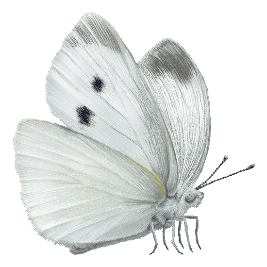 Репная белянка small white butterflies