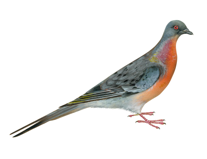 ectopistes_migratorius_passenger_pigeon.jpg