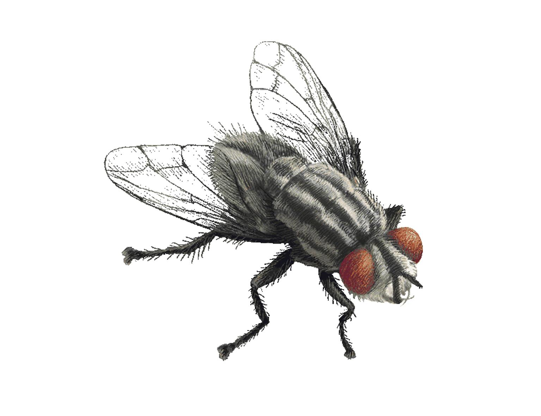 муха картинка на прозрачном фоне