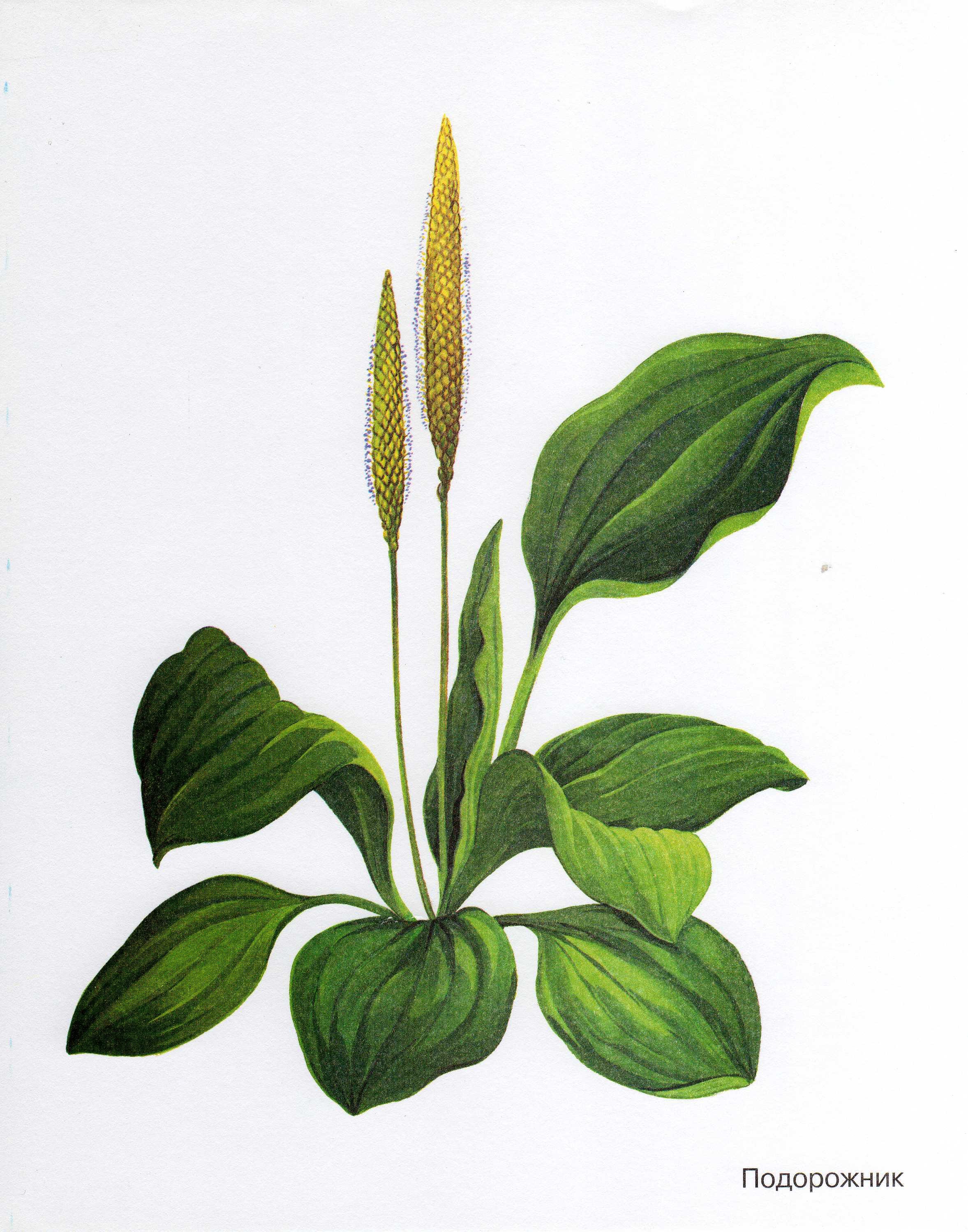 Біологія gt gt рослини gt gt трави